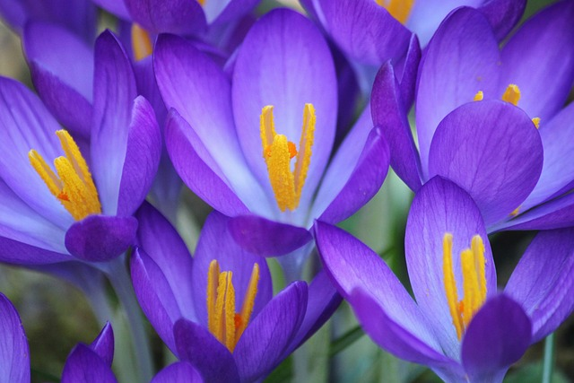 Free crocus flower purple spring close macro plant
