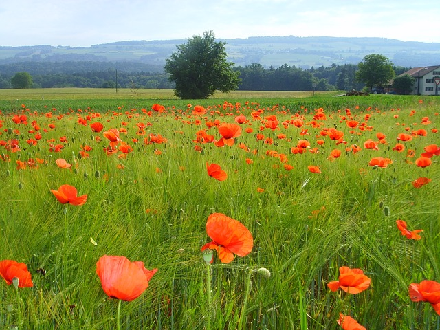 Free field of poppies klatschmohn poppy poppy flower