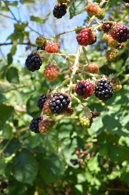 Free blackberries food fruit wild