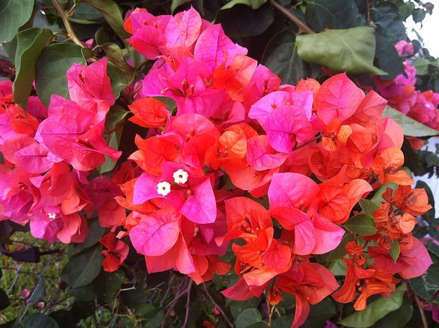 Free bougainvillea puti tai nobiu flower orange pink