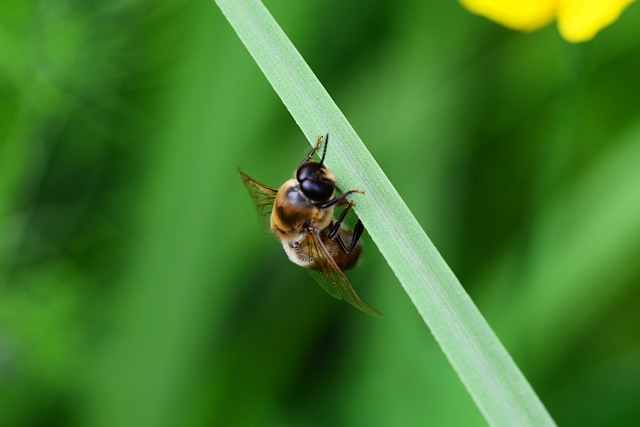 Free drone honey bee male bee ready for take-off