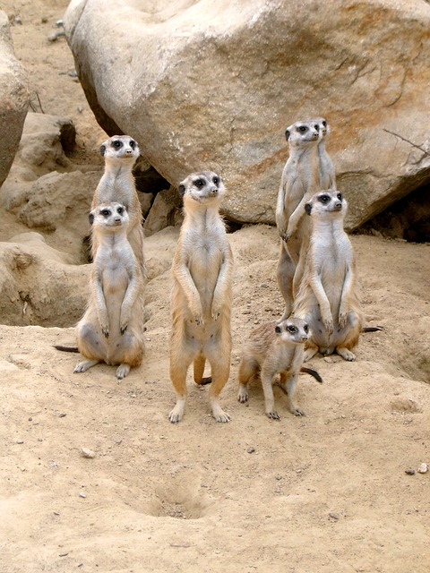 Free meerkat zoo animal sand desert attention vigilant