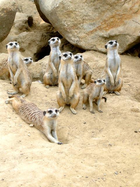 Free meerkat zoo animal sand desert attention vigilant