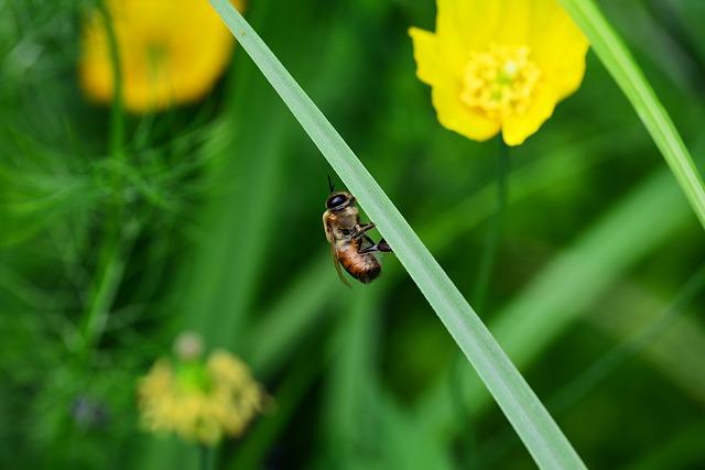Free drone honey bee male bee resting leaf buckfast