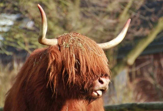 Free scottish hochlandrind beef animal pets cattle horn