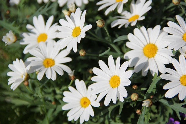 Free daisies flowers plant white yellow bloom