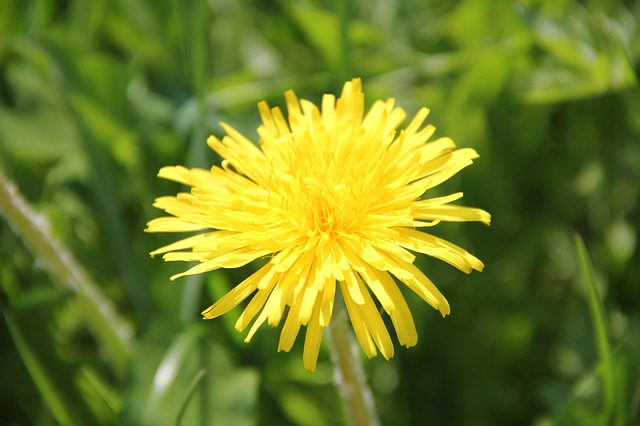 Free dandelion flower plant nature yellow close macro