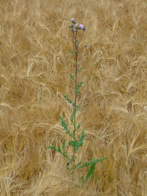 Free wheat field thistle weed arable corn ear wheat