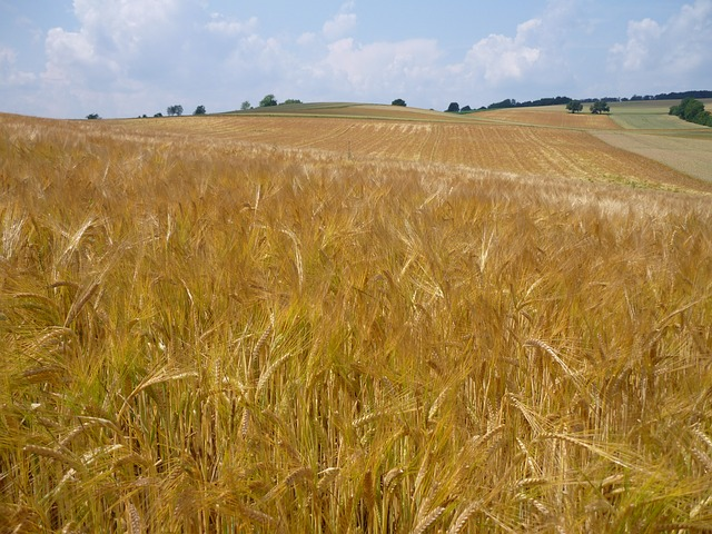 Free wheat field wheat cereals agriculture landscape
