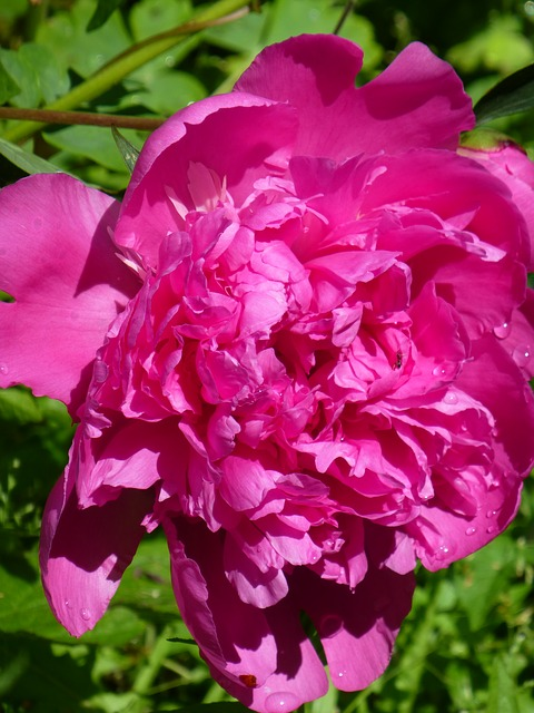 Free peony rose pink flower green drop of water dew