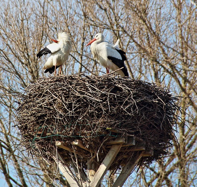 Free storchennest stork couple storks breed
