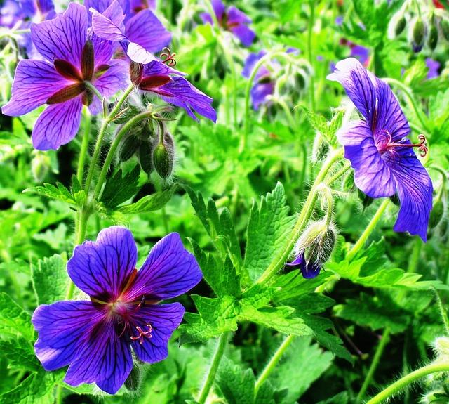 Free cranesbill flowers blue garden nature