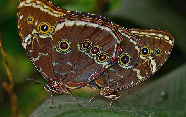 Free morpho peleides butterfly butterflies insect