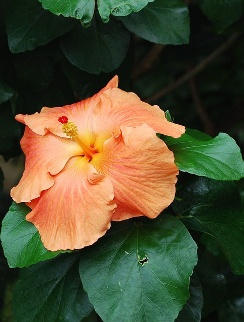 Free hibiscus closeup flower orange petals leaves