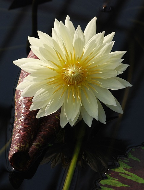 Free water lily bloom leaf pond aquatic yellow flower