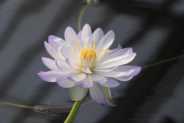 Free water lily bloom pond aquatic flower water