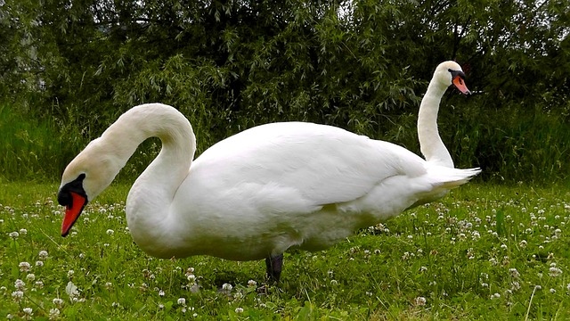 Free swans necks waters water elegant beautiful white