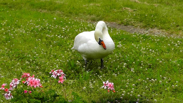 Free swan water bird white nature swans beautiful