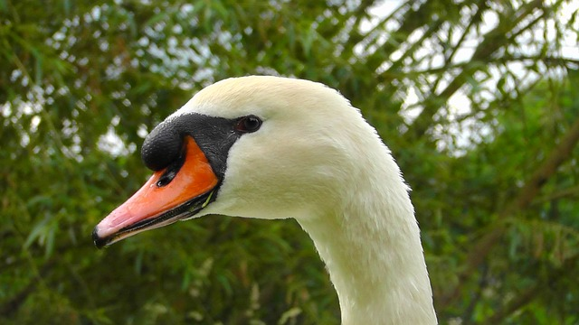 Free swan portrait gooseneck nature head plumage