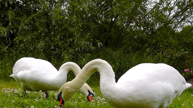 Free swans pets beautiful elegant feather mute swan
