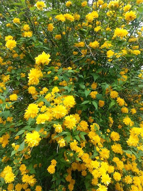 Free bushes shrubs ranunkel shrub amber rose family