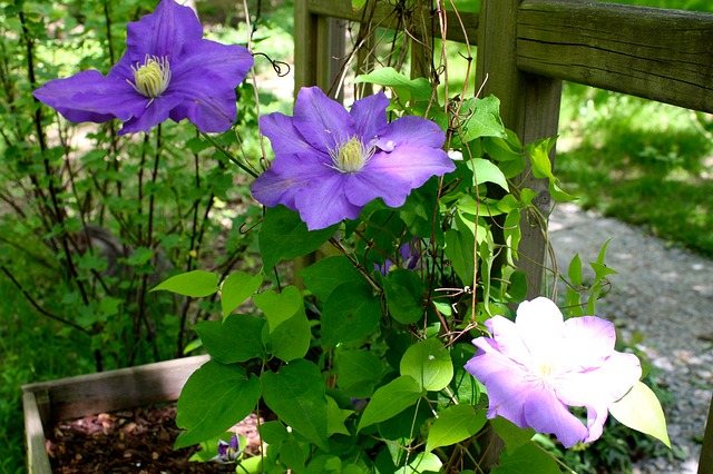 Free clematis flowers purple flowering