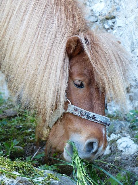 Free graze eat shetland pony pony horse animal fur