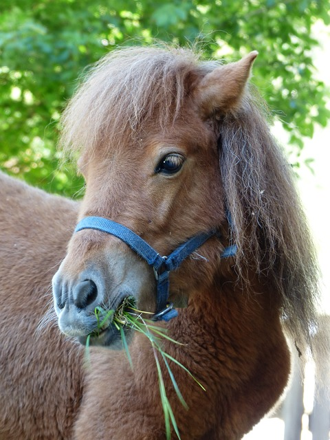 Free pony eat grass shetland pony horse animal fur