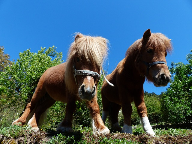 Free shetland ponies ponies wuschelig hairy fur horse