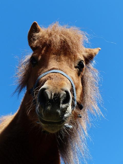 Free shetland pony pony head funny wuschelig hairy fur