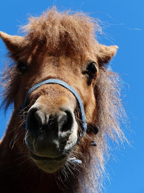Free shetland pony pony head funny horse animal fur