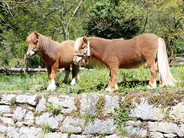 Free shetland pony pony horse animal fur wuschelig