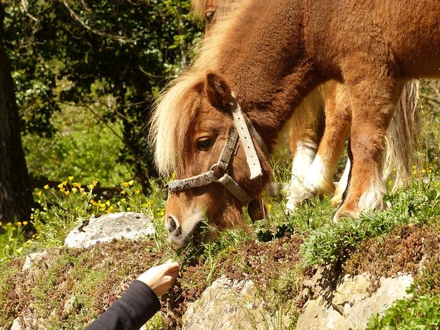 Free pony feeding grass eat graze horse shetland pony