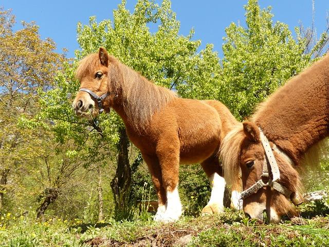 Free pony eat graze horse shetland pony animal fur