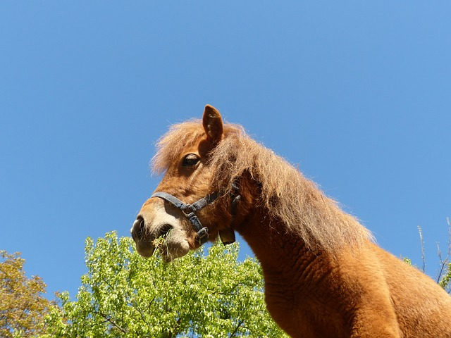 Free pony horse shetland pony animal fur wuschelig
