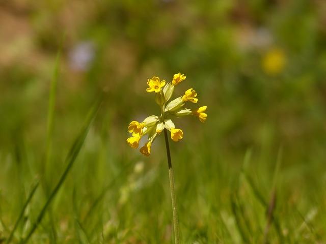 Free cowslip primrose flower yellow veris primula veris
