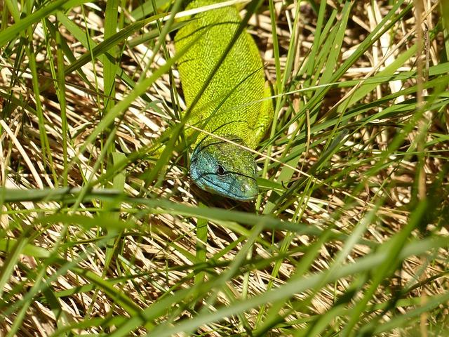 Free emerald lizard european green lizard lacerta viridis