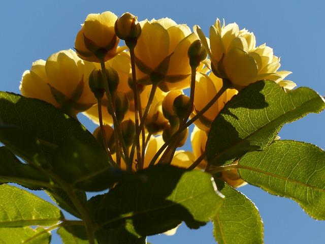 Free Photos: Roses flowers yellow flower flora | Hans Braxmeier