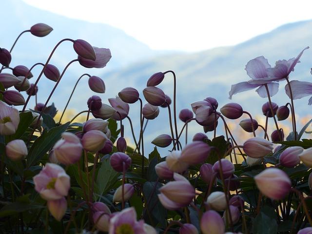 Free bud pink flower fall anemone anemone hupehensis