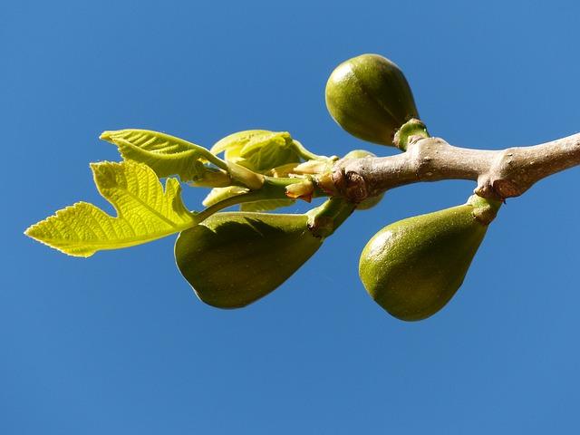 Free figs fig tree fruits real coward fig leaves tree