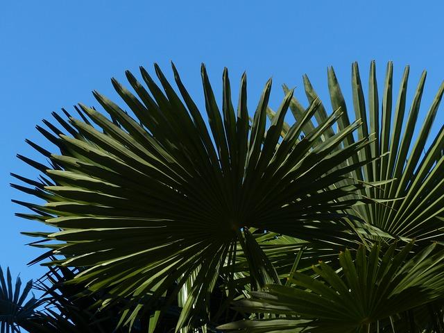 Free Photos: Palm tree date palm shade tree leaves wedel | Hans Braxmeier