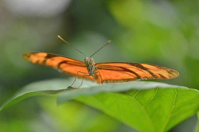 Free Photos:               dryas julia julia longwin gorange butterfly bug | GLady