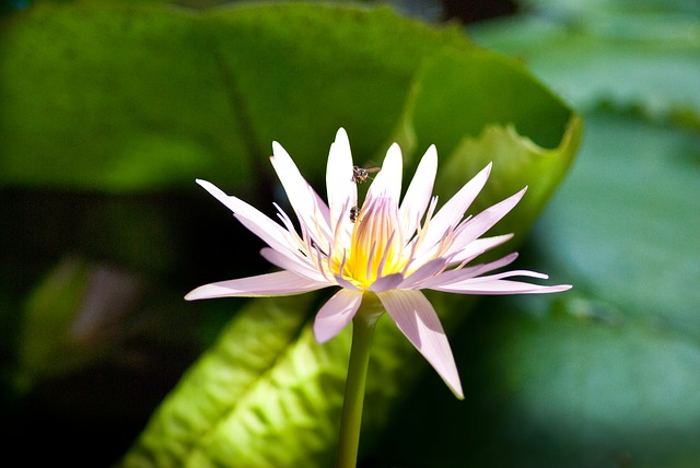 Free lotus flower blooming water lily pink green