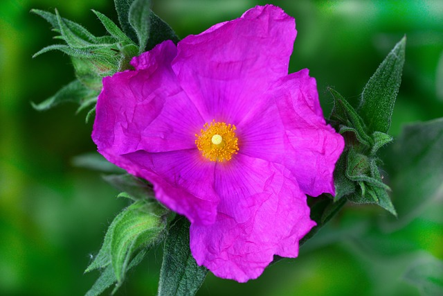 Free cistus perennial shrub cerise pink