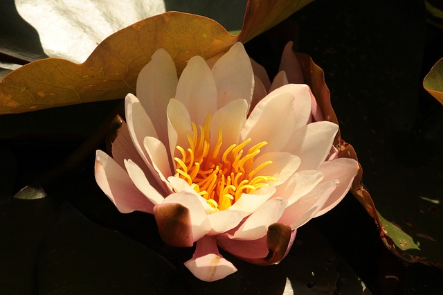 Free water lily flower pink aquatic plant nature bloom