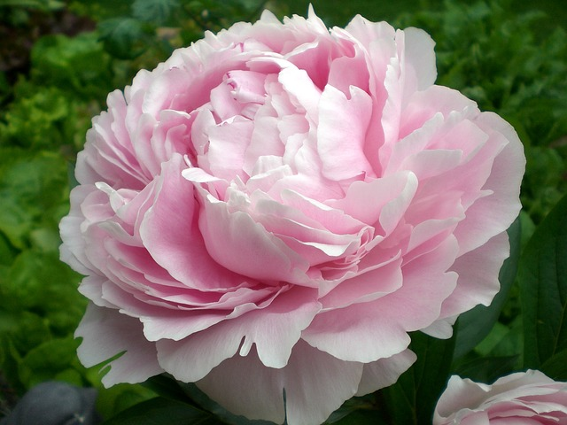 Free peony flower ornamental plant double flower pink