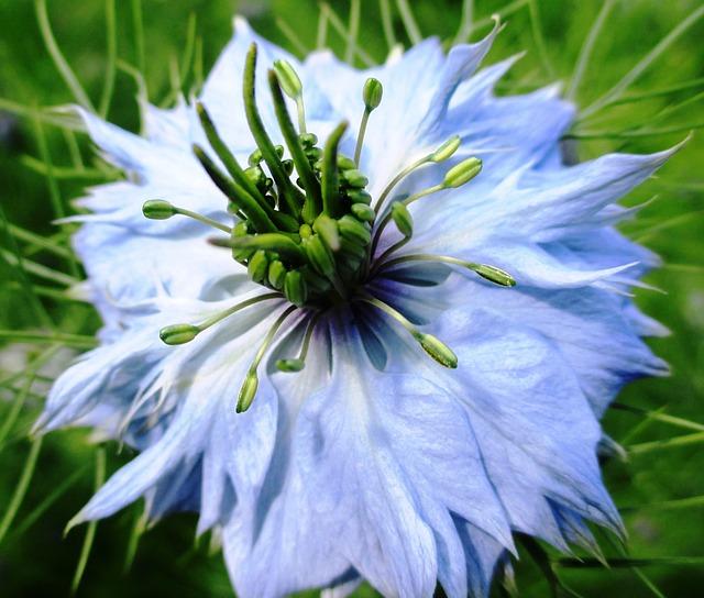 Free flower gretl in the bush garden light blue tender