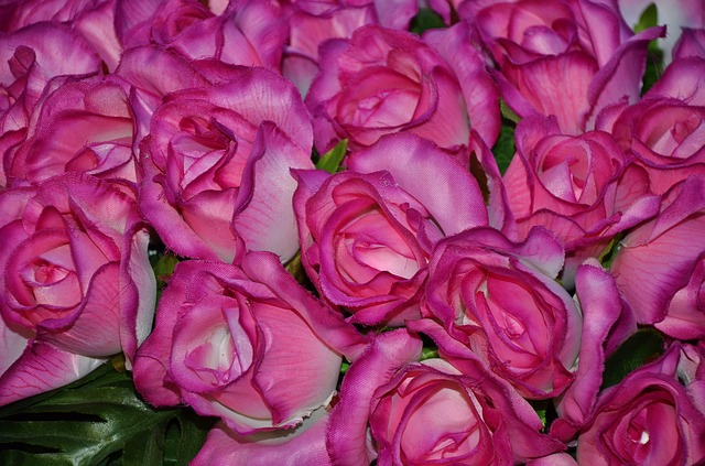 Free flower plant nature lilac rose roses pink family