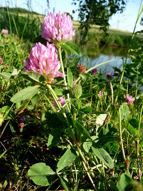 Free clover nature plant flower green meadow