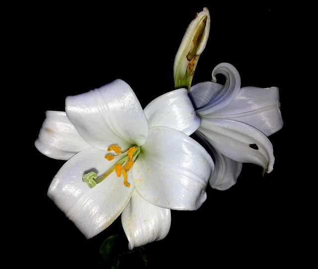 Free lily flower white petal white flower purity plant